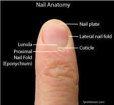 fingernail separated from nail bed
