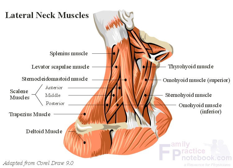 Cervical Spine Muscles III  Anatomy Muscles