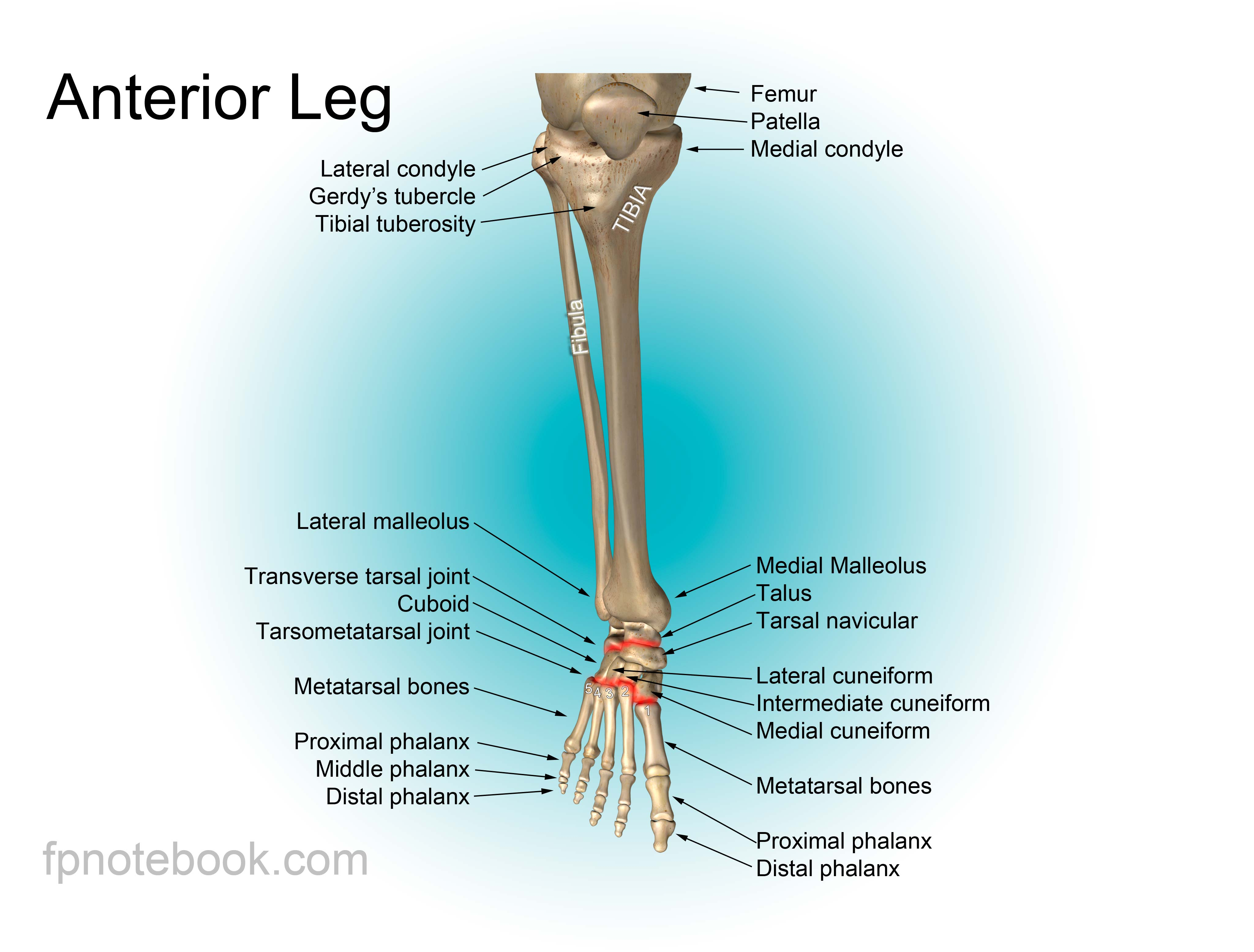 Anatomy of the foot and leg