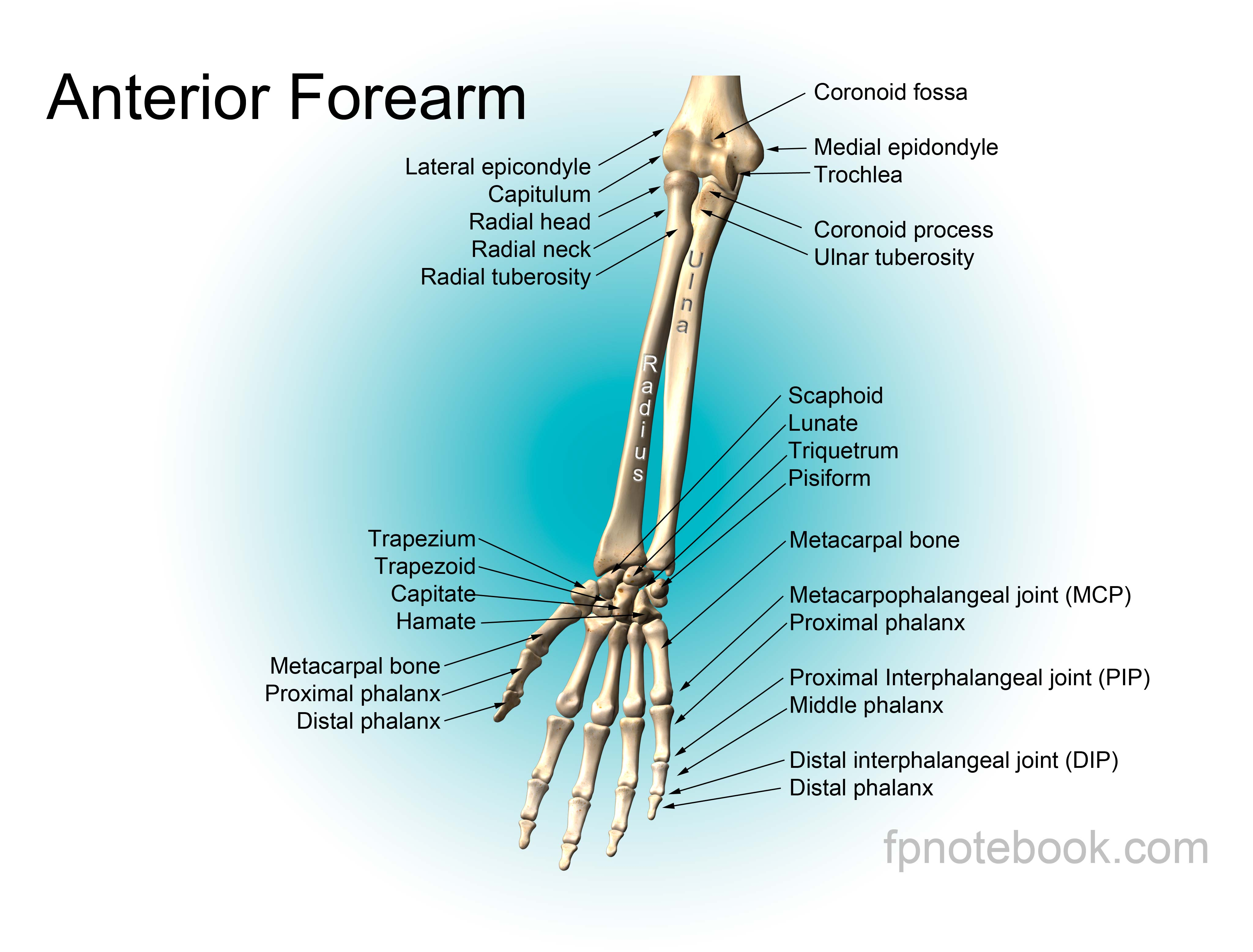 Anatomy arm bones