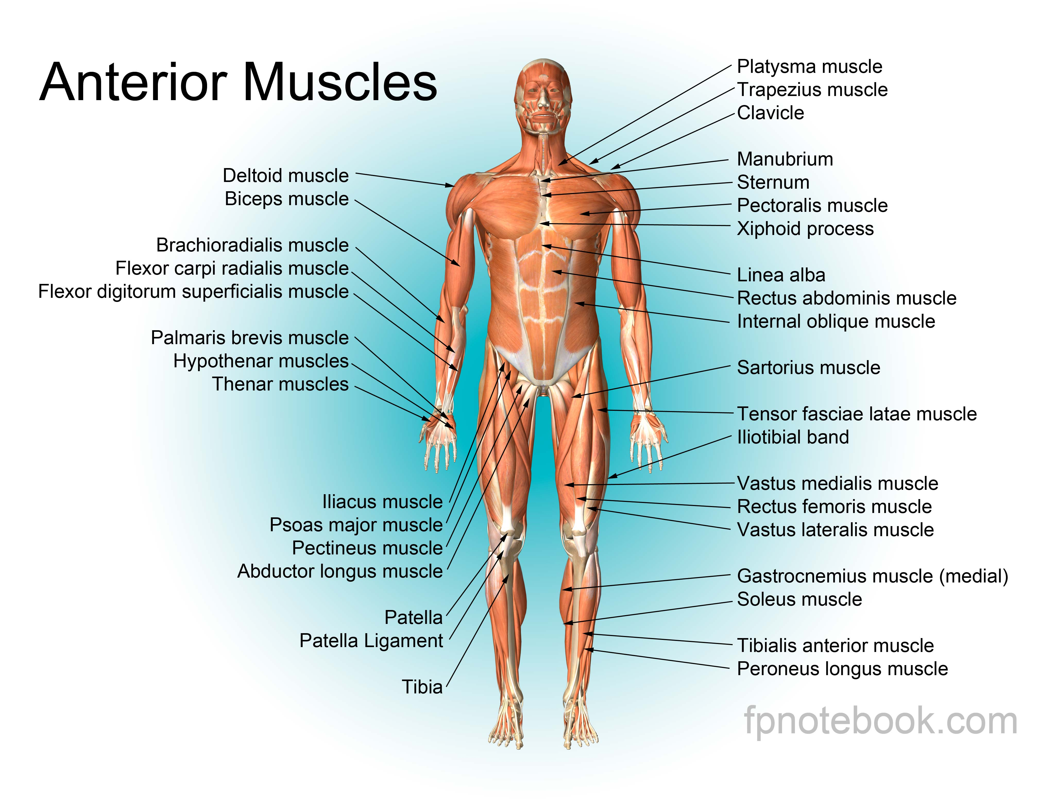 musculoskeletal anatomy, Muscles