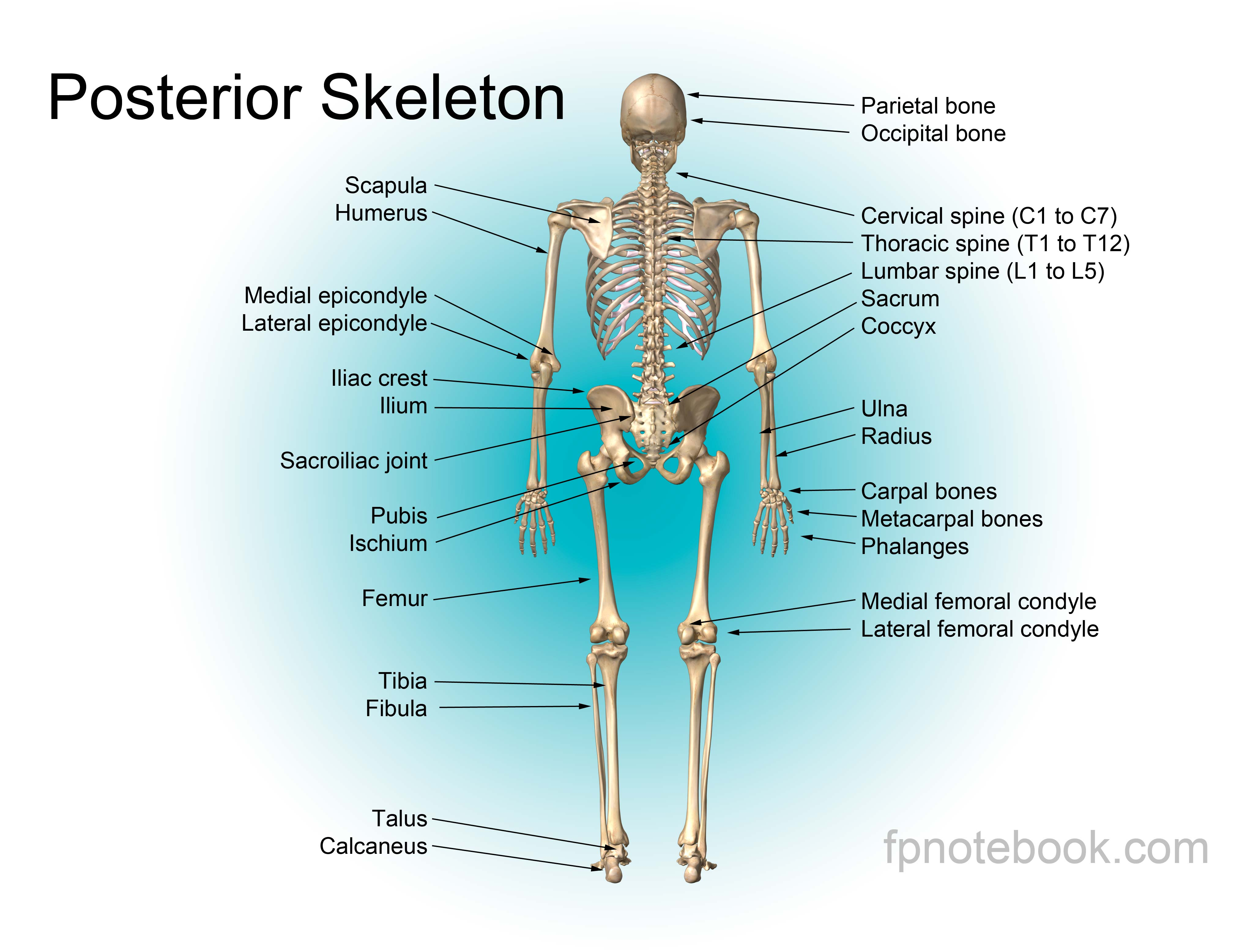 Musculoskeletal anatomy also available as a poster size image pooptronica