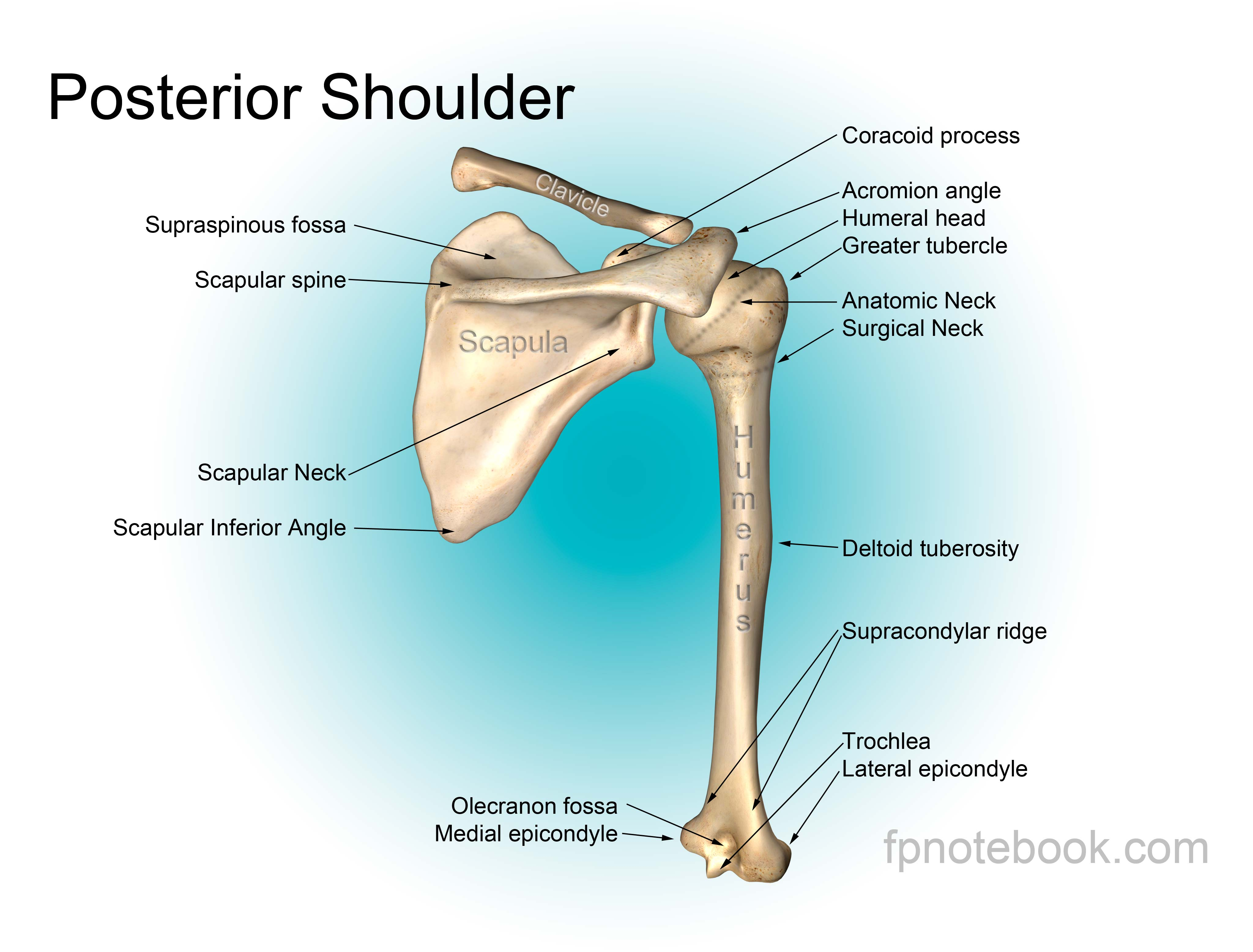 shoulder anatomy, Cephalic Vein